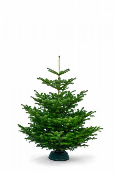 Bild: Nordmanntanne - Weihnachtsbaum